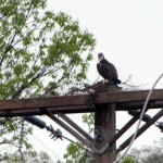 A male osprey sits atop a utility pole Monday in Beacon Falls in the act of rebuilding a nest taken down by Connecticut Light & Power. The state Department of Energy and Environmental Protection is investigating whether there were eggs in the nest when the utility company removed it, which would constitute a violation of state and federal law. –CONTRIBUTED