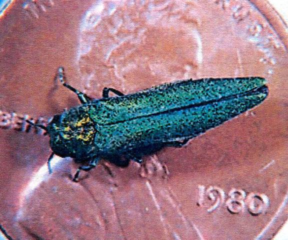 Invasive beetle found in Prospect, Naugatuck