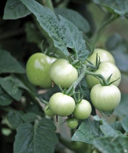 Tomatoes grow in the Beacon Falls Community Garden on Wolfe Avenue last year. –FILE PHOTO