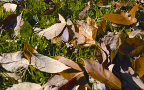 Borough to collect leaves